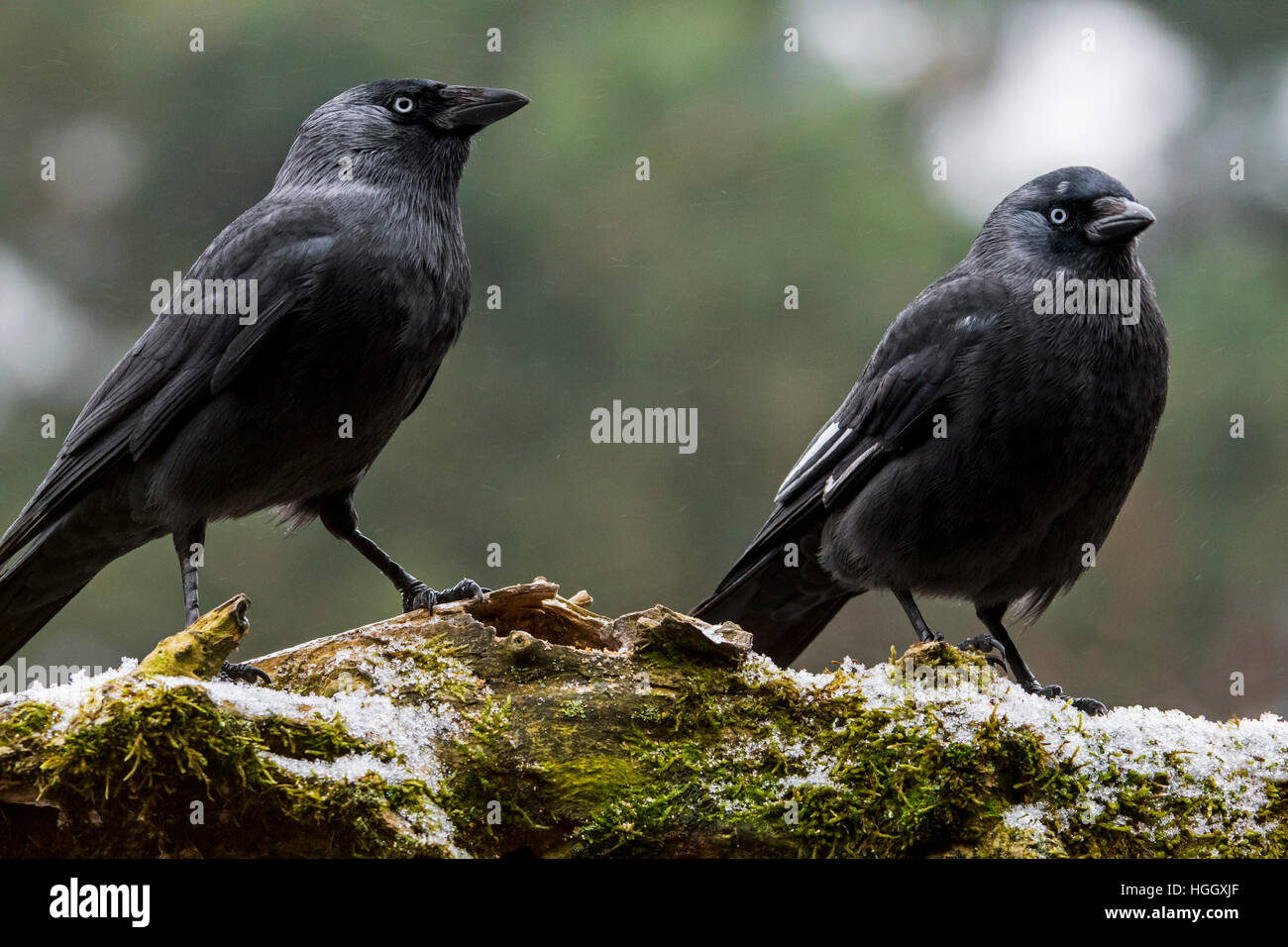 Leucistic Western jackdaw showing white wing feathers due to partial leucism and normal jackdaw (Corvus monedula) - Stock Image