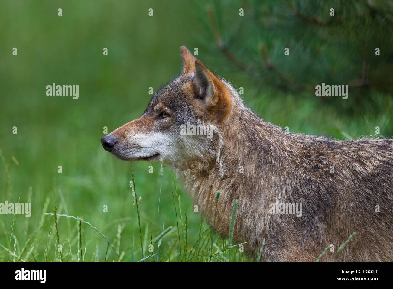 Close up portrait of solitary gray wolf / grey wolf (Canis lupus) in summer - Stock Image