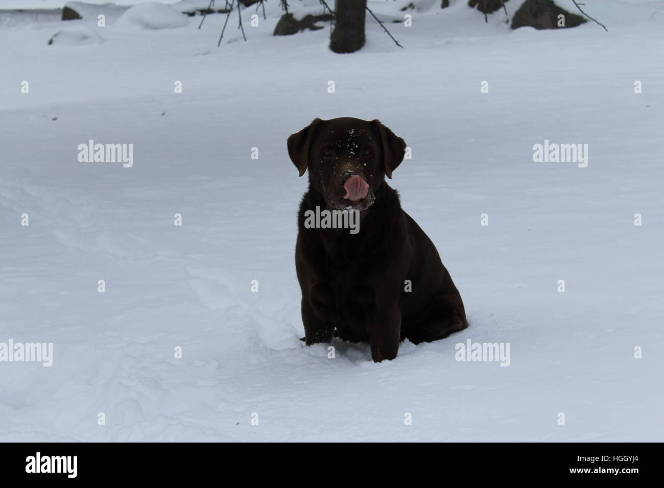 Chocolate lab in snow licking her nose. - Stock Image