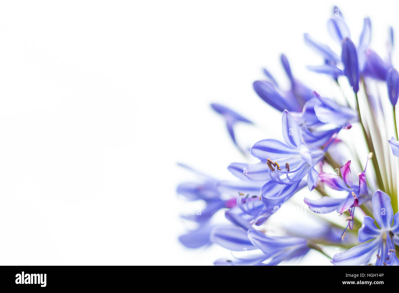 Blue Agapanthus Agapanthus praecox, a close up of the individual flowers, Tresco, Isles of Scilly, July - Stock Image