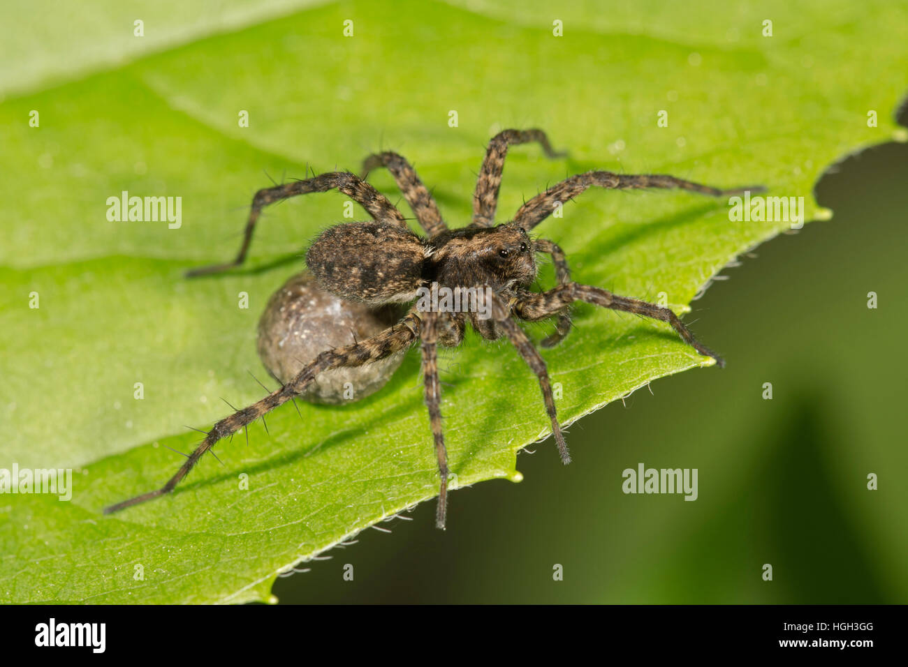 Spotted wolf spider (Pardosa amentata), female with egg sac, Baden-Württemberg, Germany - Stock Image