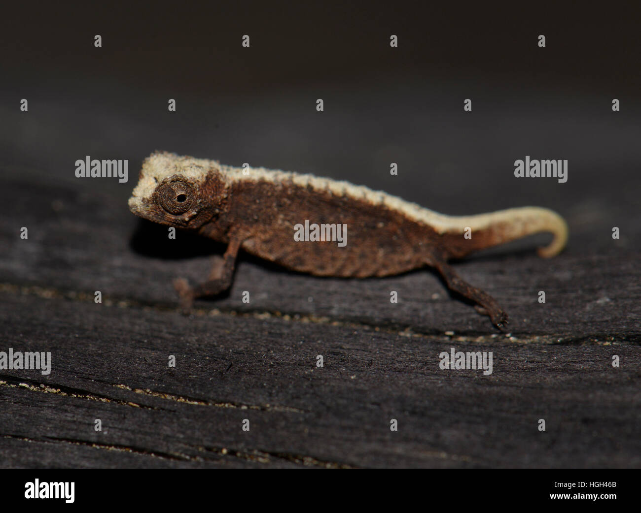 Male dwarf chameleon (Brookesia micra), one of the smallest reptiles in the world, Nosy Hara National Park, Madagascar - Stock Image