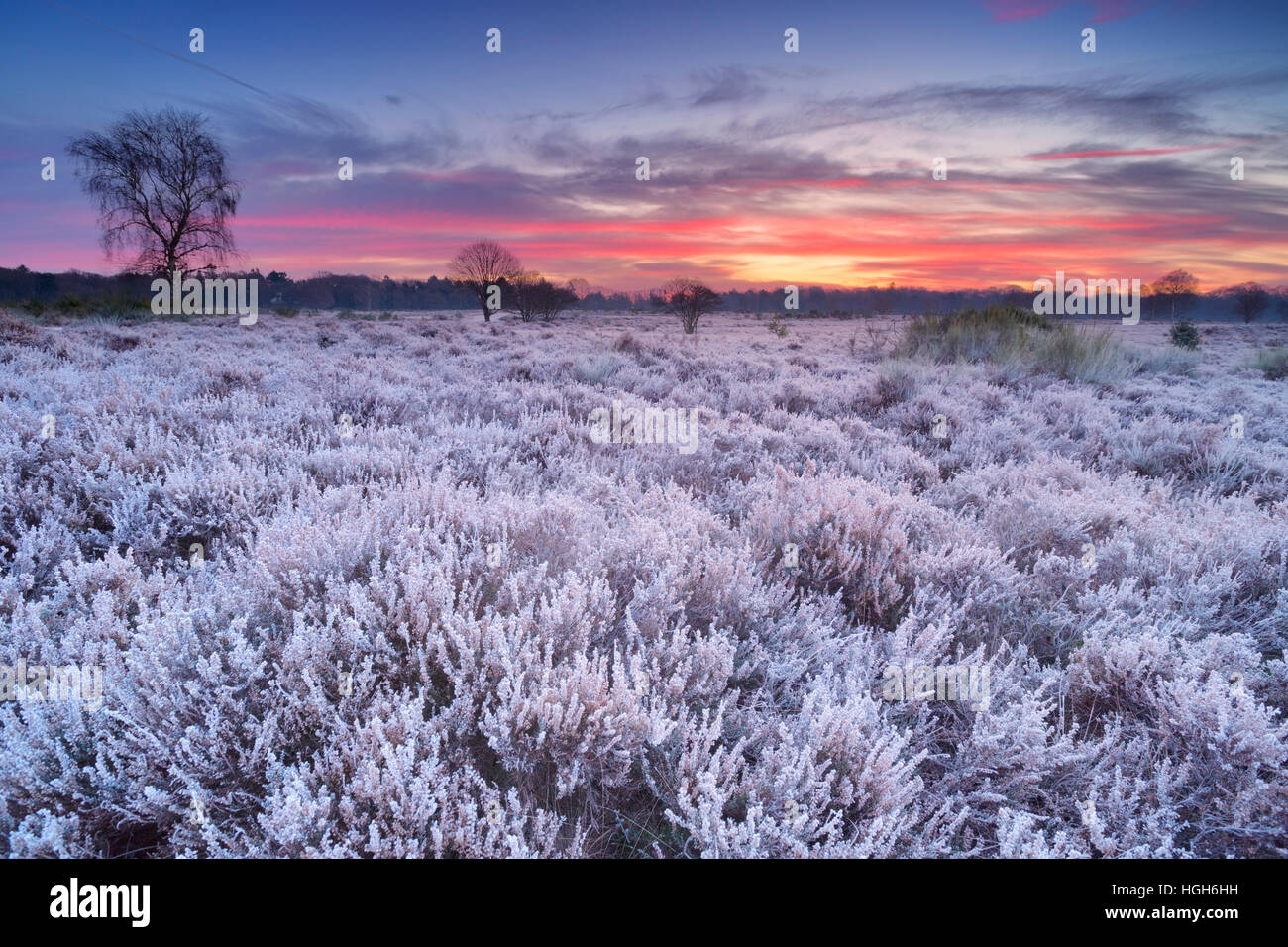 Frosted heather in winter, photographed just before sunrise near Hilversum in The Netherlands. Stock Photo