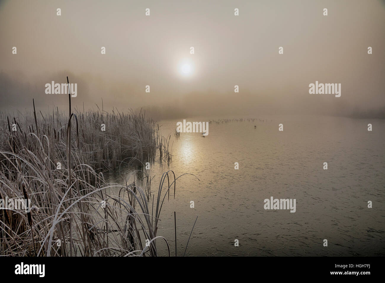 Sunrise over reed beds, St Michael's Mead, frost and ice Stock Photo