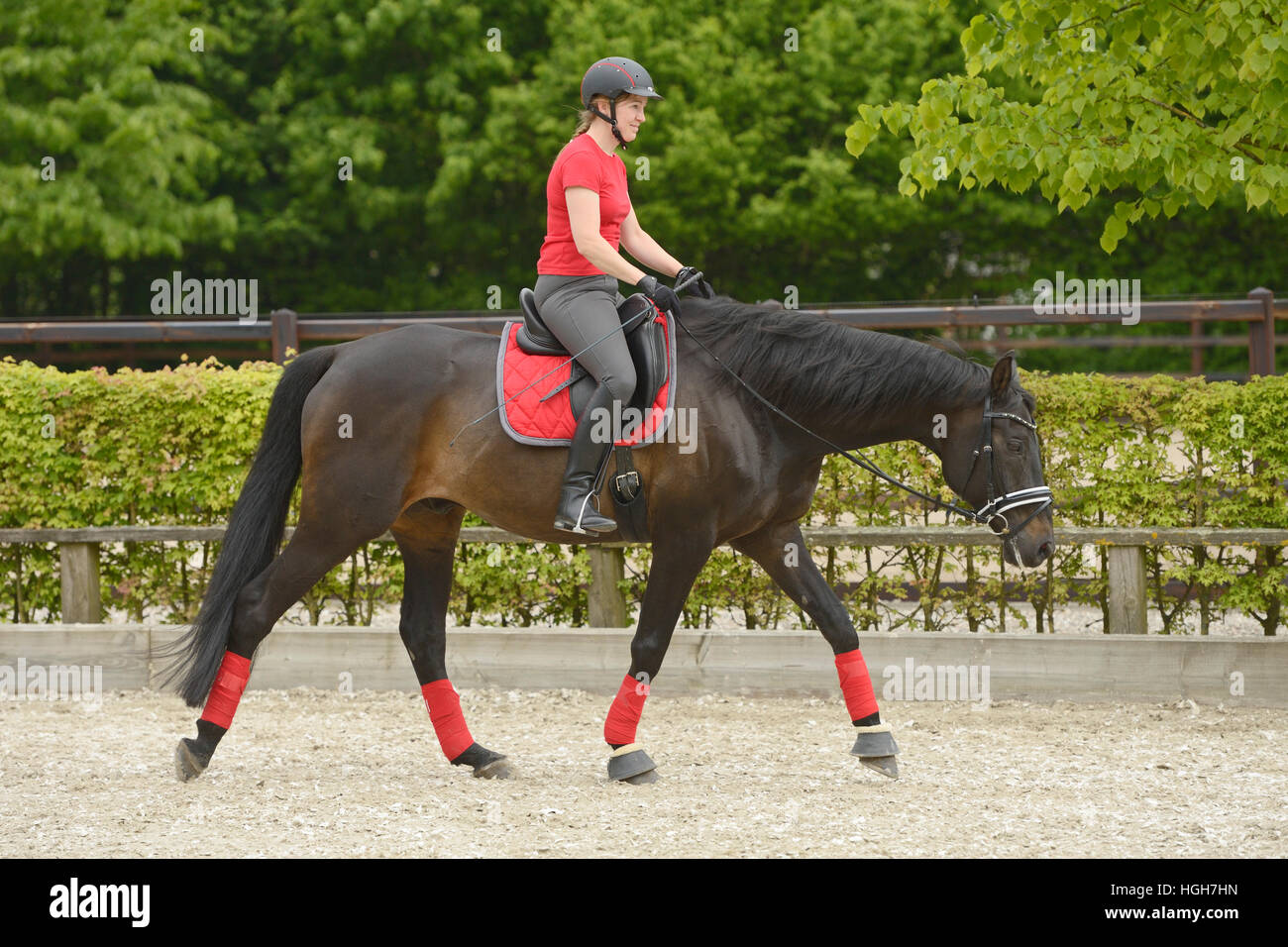 Rider on Trakehnen horse doing flatwork - Stock Image