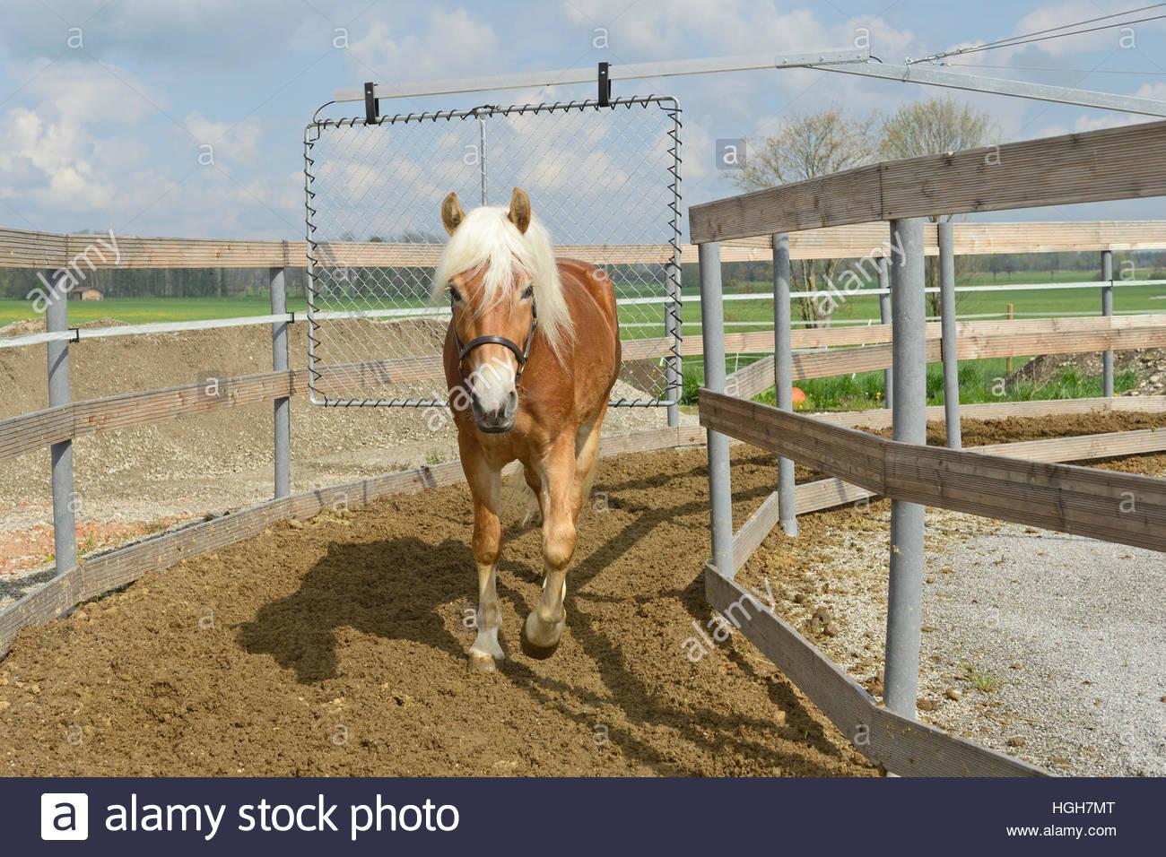 Haflinger horse in horse walker - Stock Image