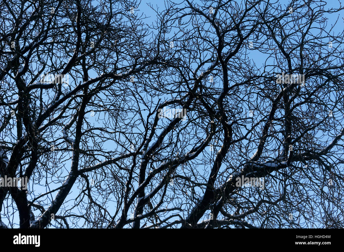 Bare tangled branches of a deciduous tree in winter against a blue sky - Stock Image