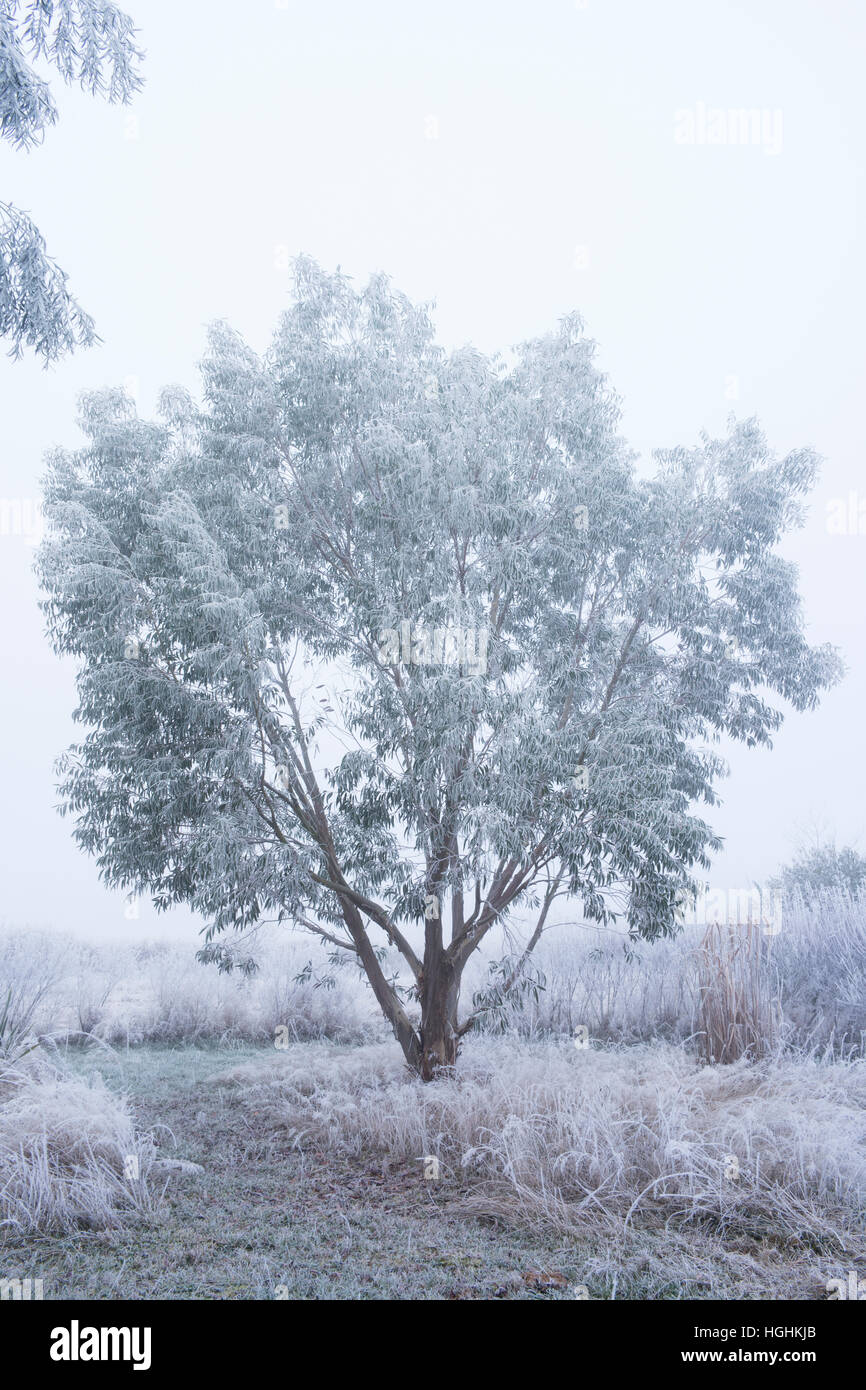 Eucalyptus niphophila in winter under the hoarfrost (France, Cher) - Stock Image