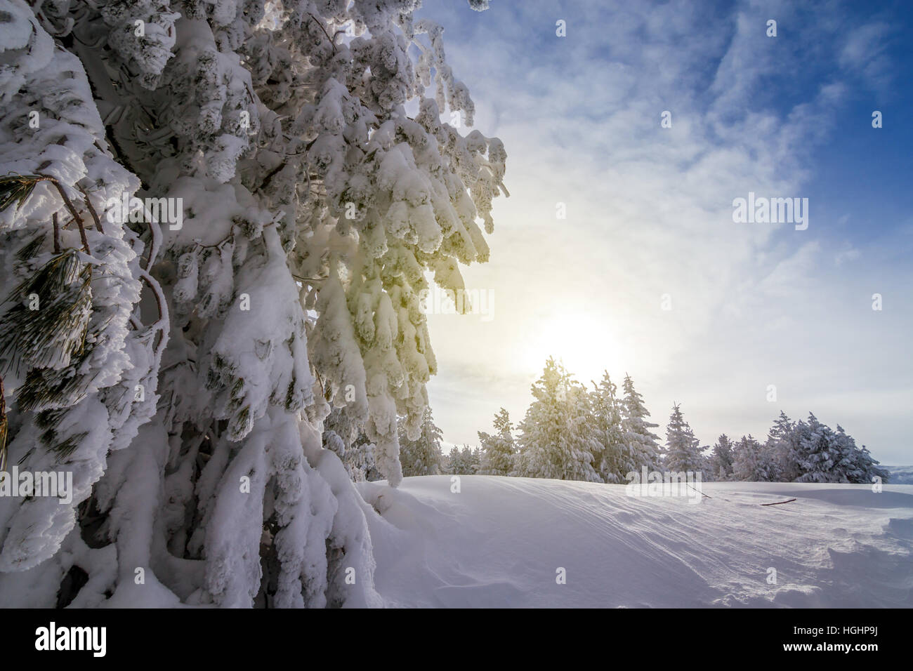 Spruce branch in winter at sunset - Stock Image