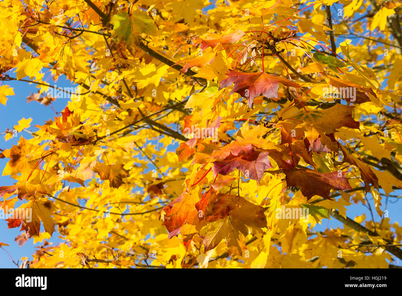 Autumn colours at Foxhills Club & Resort, Stonehill Road, Ottershaw, Surrey, England, United Kingdom - Stock Image