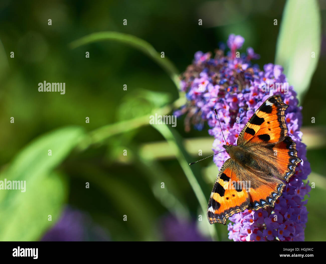 butterfly on summer lilac - Stock Image
