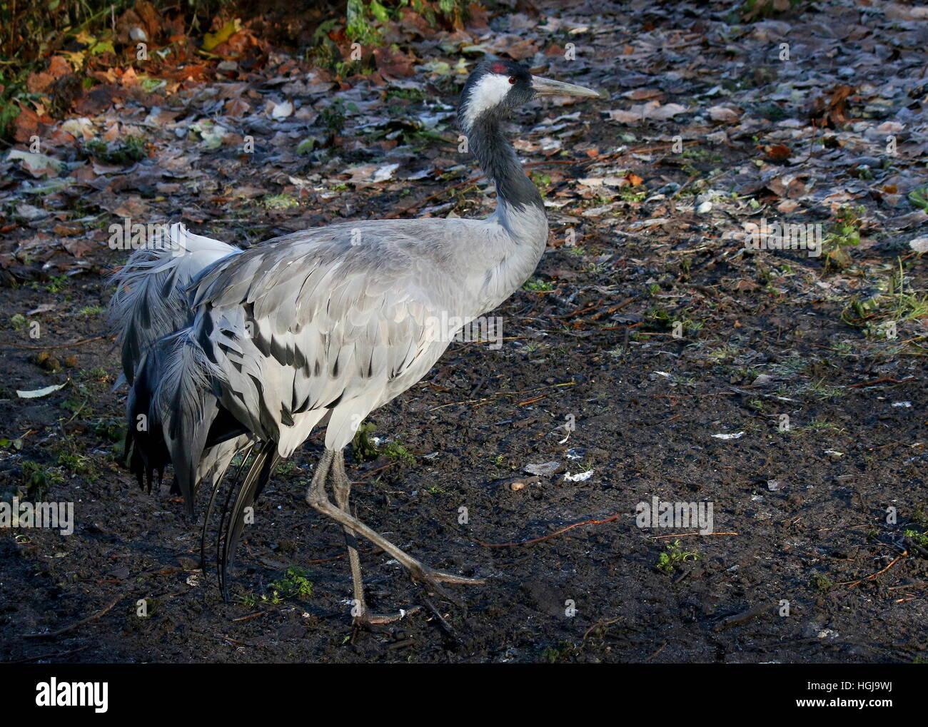 European Common Crane (Grus Grus) in closeup Stock Photo