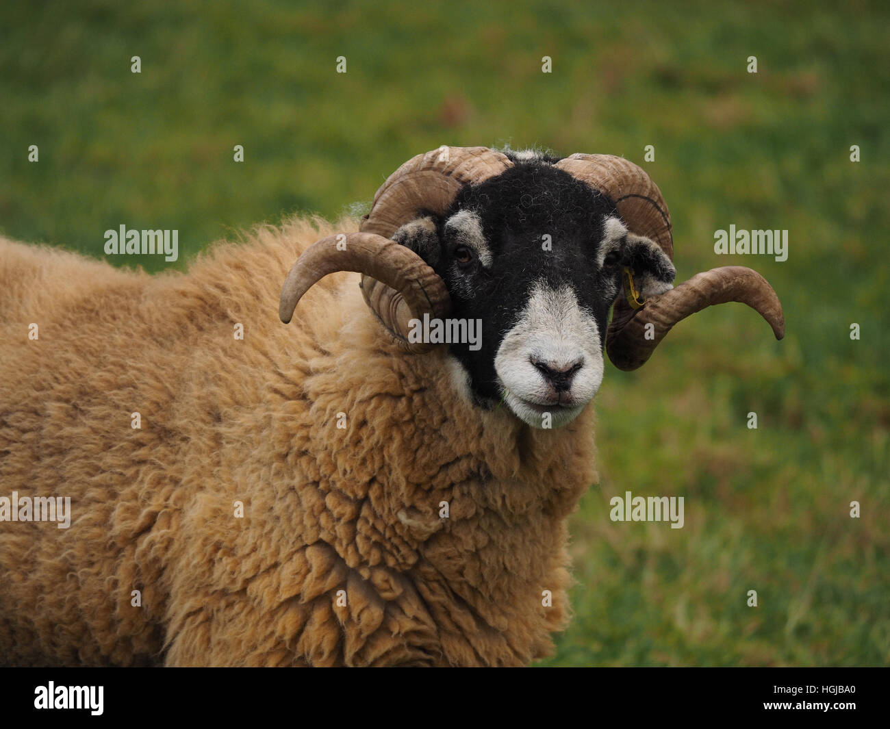 black-faced hill sheep ram looking straight at camera in grassy field with spiral curly horns and thick fleece - Stock Image