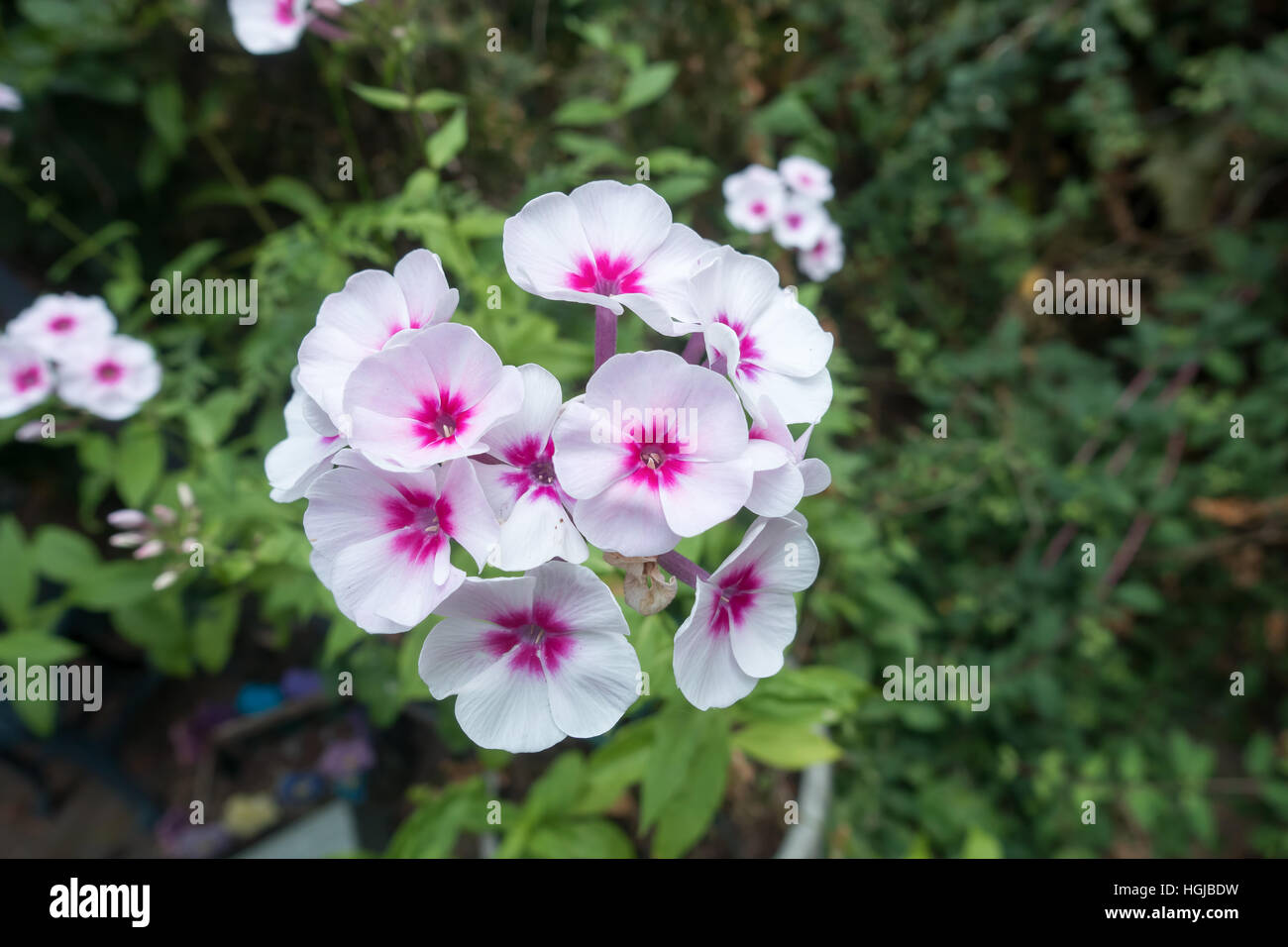Closeup Of A Cluster Of Small Pink And White Flowers Stock Photo
