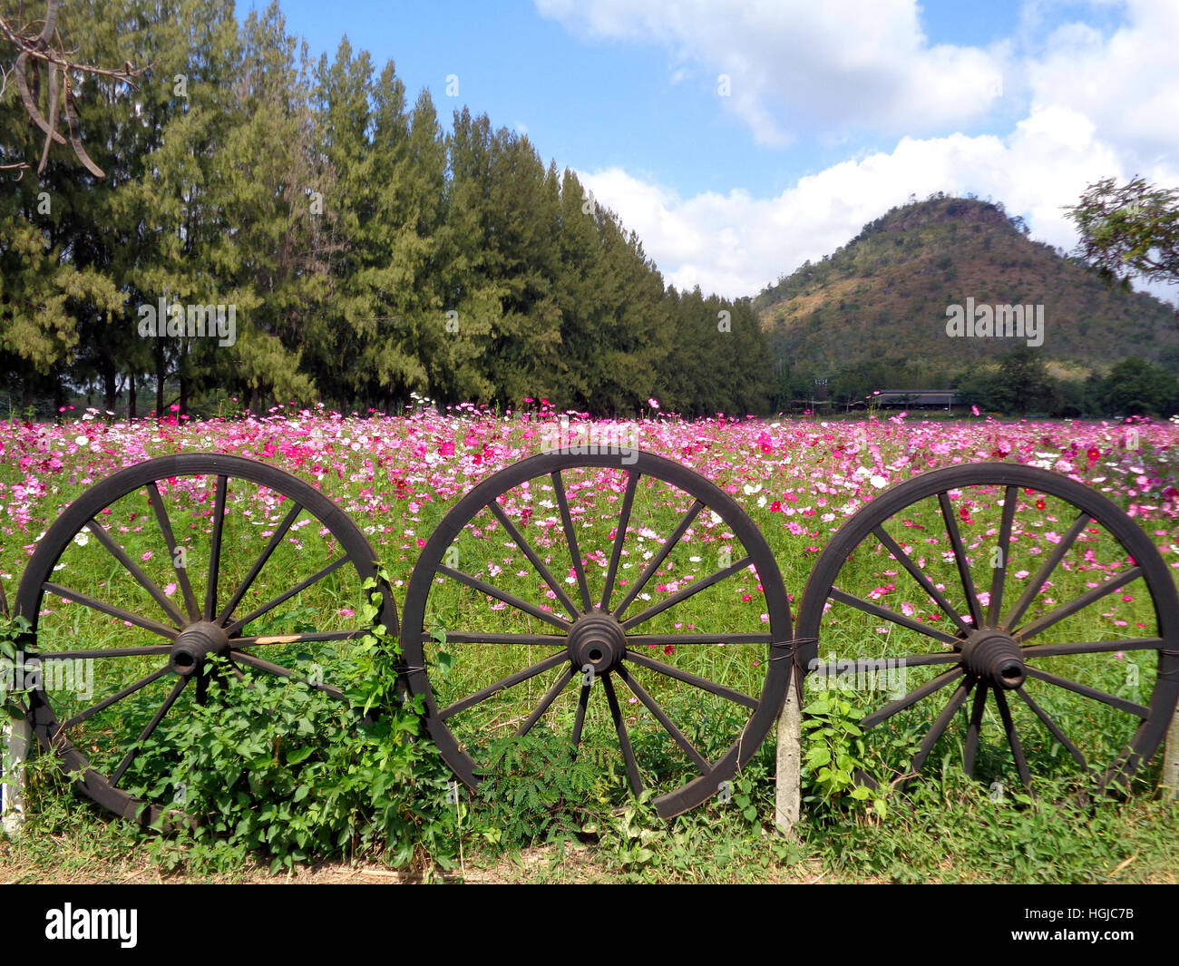 Beautiful Blooming Pink Cosmos Field at the Foothill behind the Unique Wooden Wheel Fence, Thailand - Stock Image