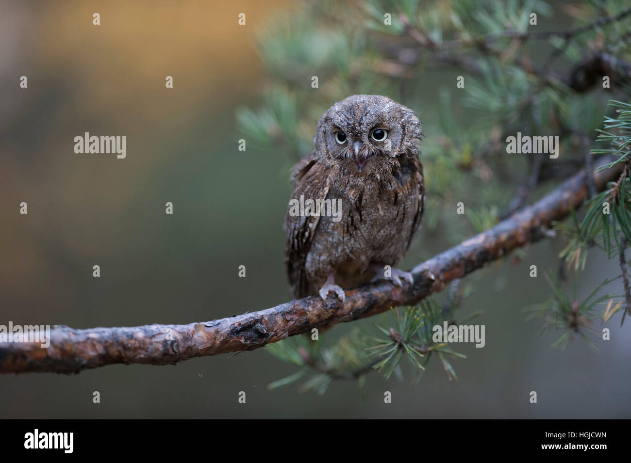 Eurasian Scops Owl / Zwergohreule ( Otus scops ), perching on a branch of a pine tree, calling, nice background, - Stock Image