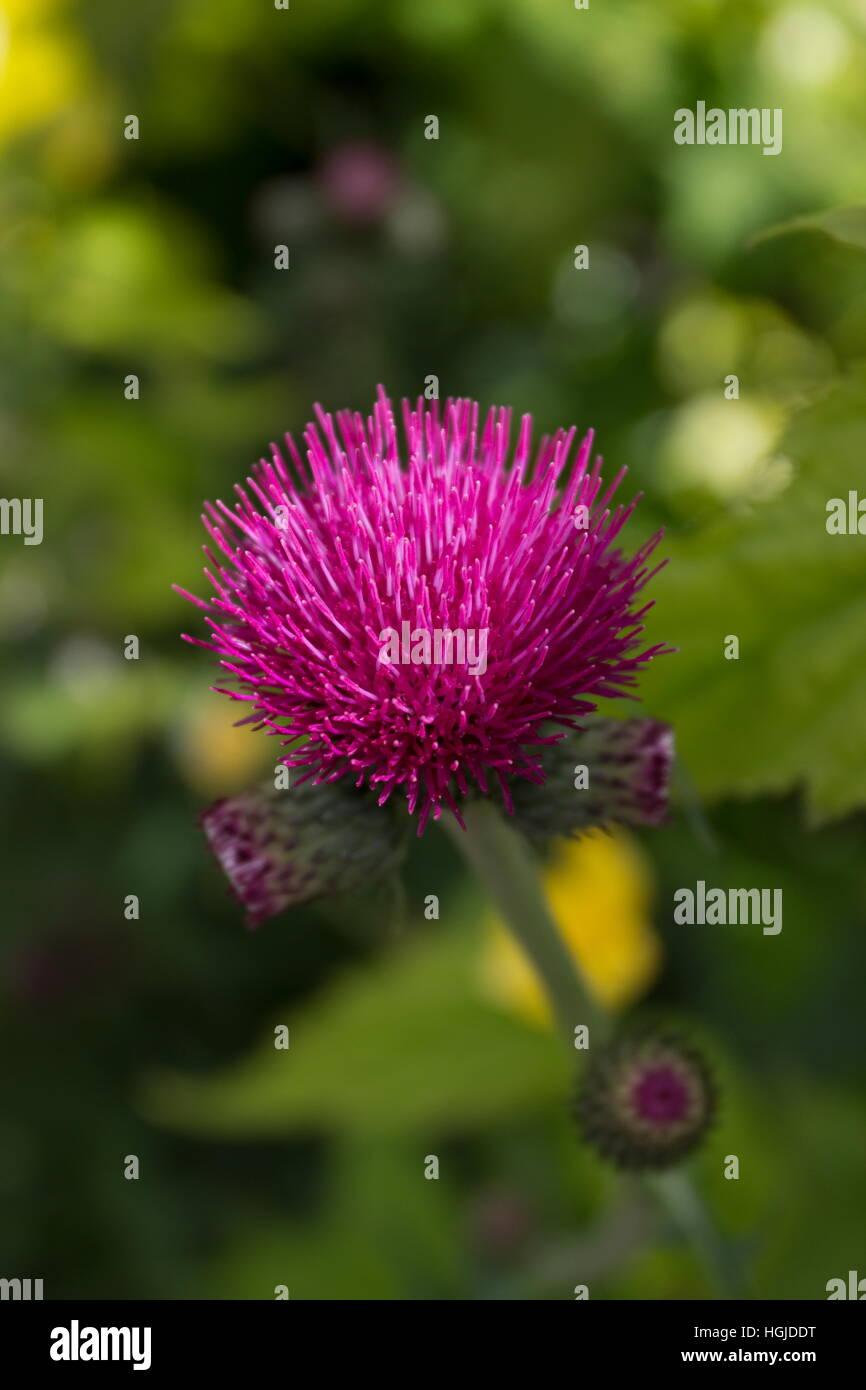 Cirsium rivulare atropurpureum (Plume Thistle) close up of purple flower head - Stock Image
