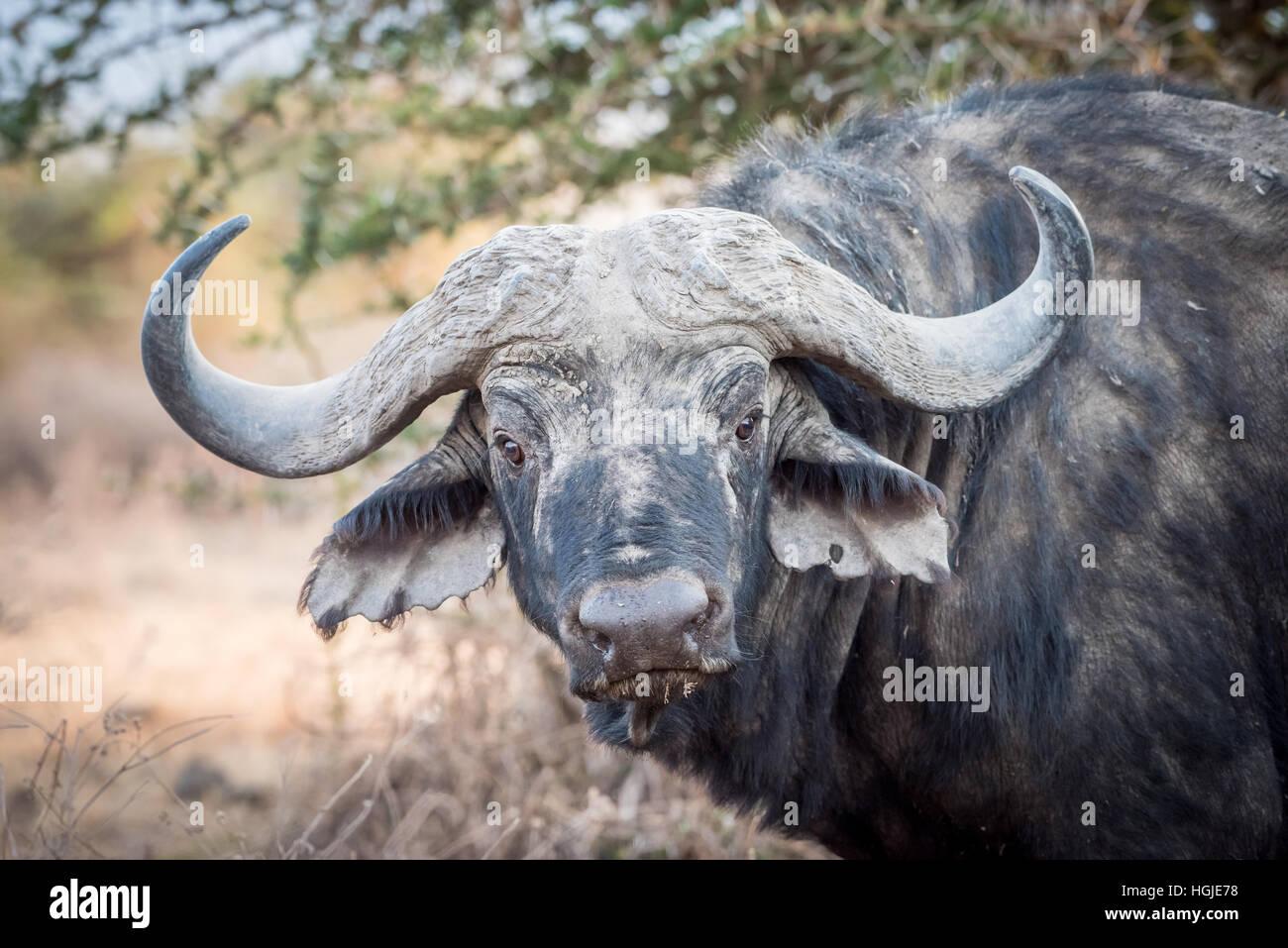 African Buffalo (Syncerus caffer) Portrait - Stock Image