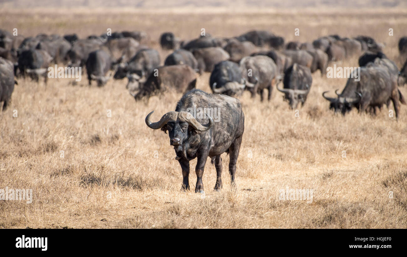 African Buffalo (Syncerus caffer) Herd - Stock Image