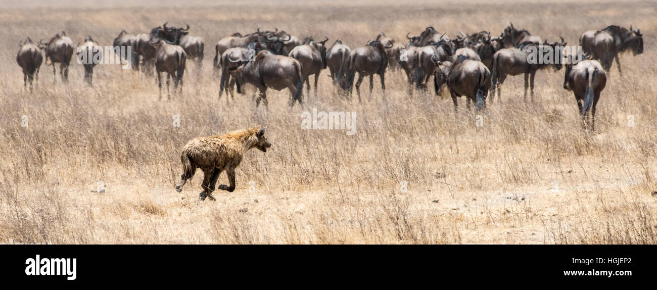 Herd of Wildebeest, White Bearded Brindled or Blue (Connochaetes taurinus) Chased by Hyena - Stock Image
