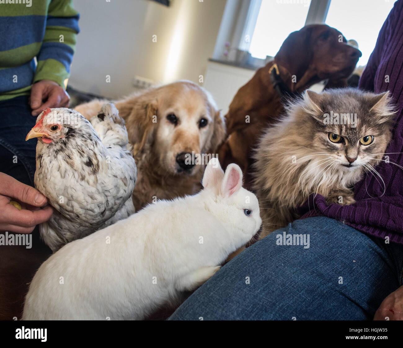 Schmitten, Germany. 06th Jan, 2017. Gisela the chicken, Berlioz the rabbit, Emma the Golden Retriever, the Bloodhound - Stock Image