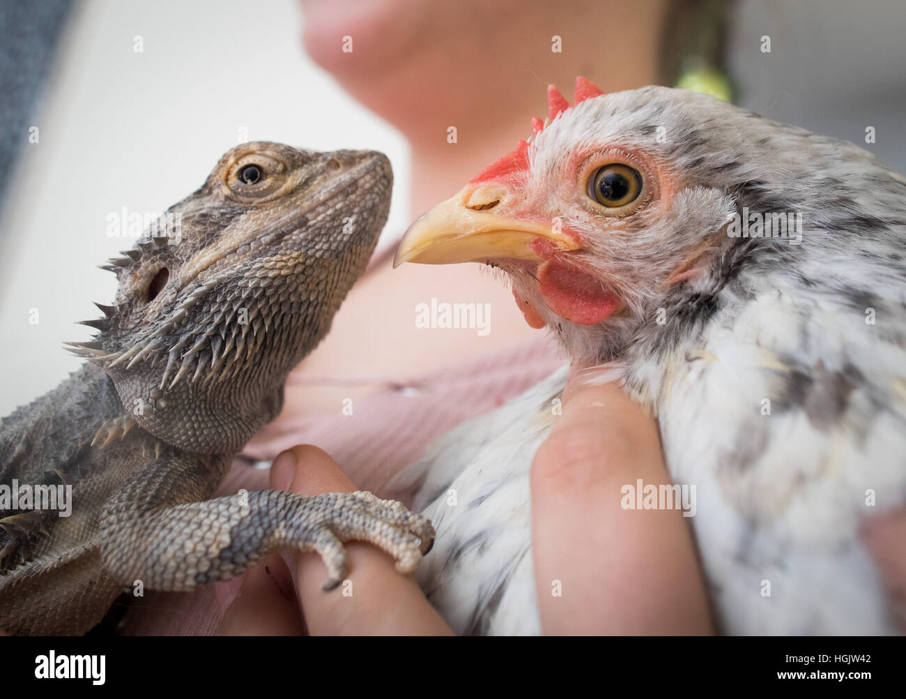 Schmitten, Germany. 06th Jan, 2017. Karl the bearded dragon, and Gisela the chicken in the Wirth family's living - Stock Image