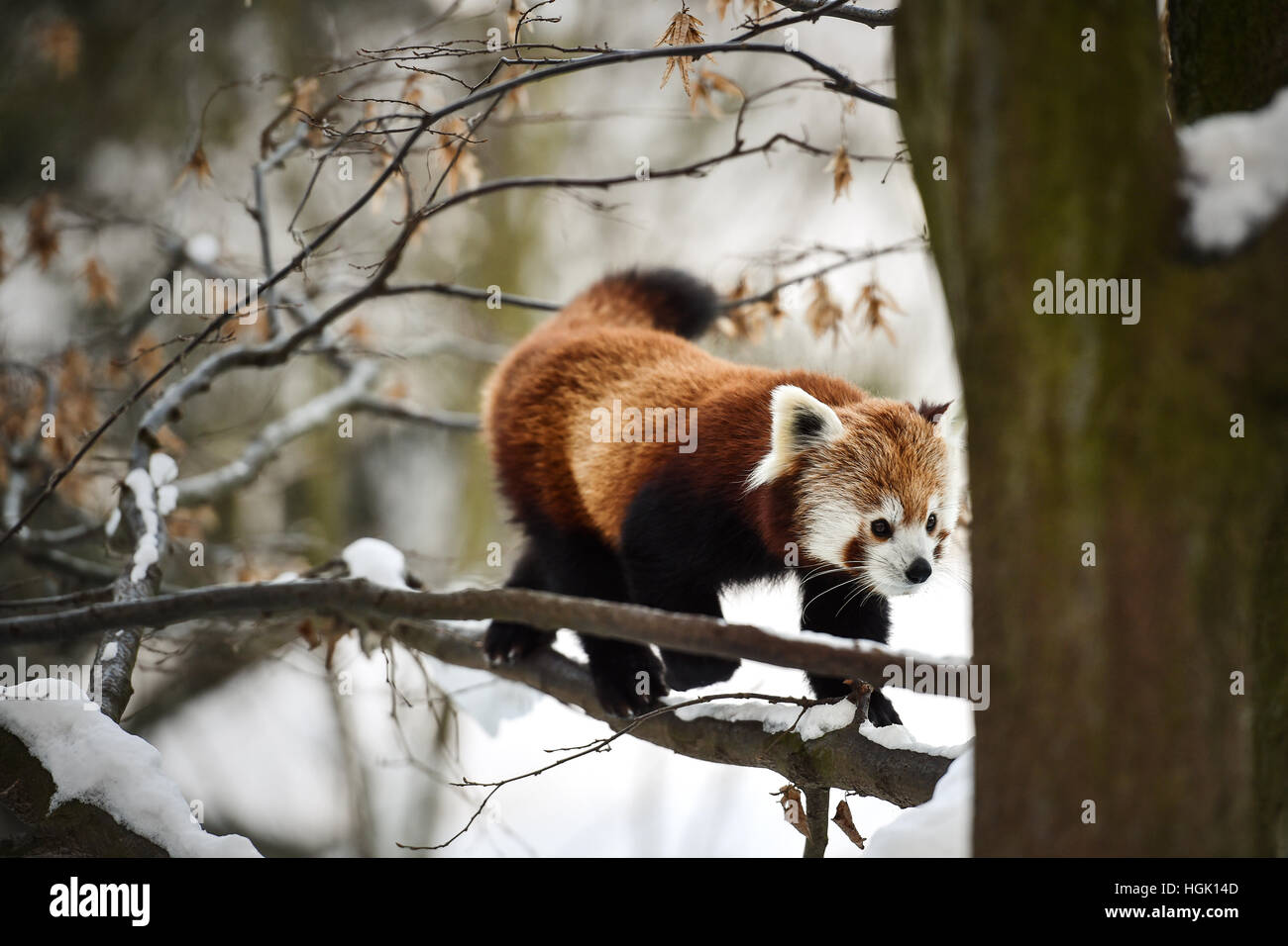 Liberec, Czech Republic. 23rd Jan, 2017. Red panda, Ailurus fulgens, enjoys a snowy day in Liberec Zoo, Czech Republic, - Stock Image