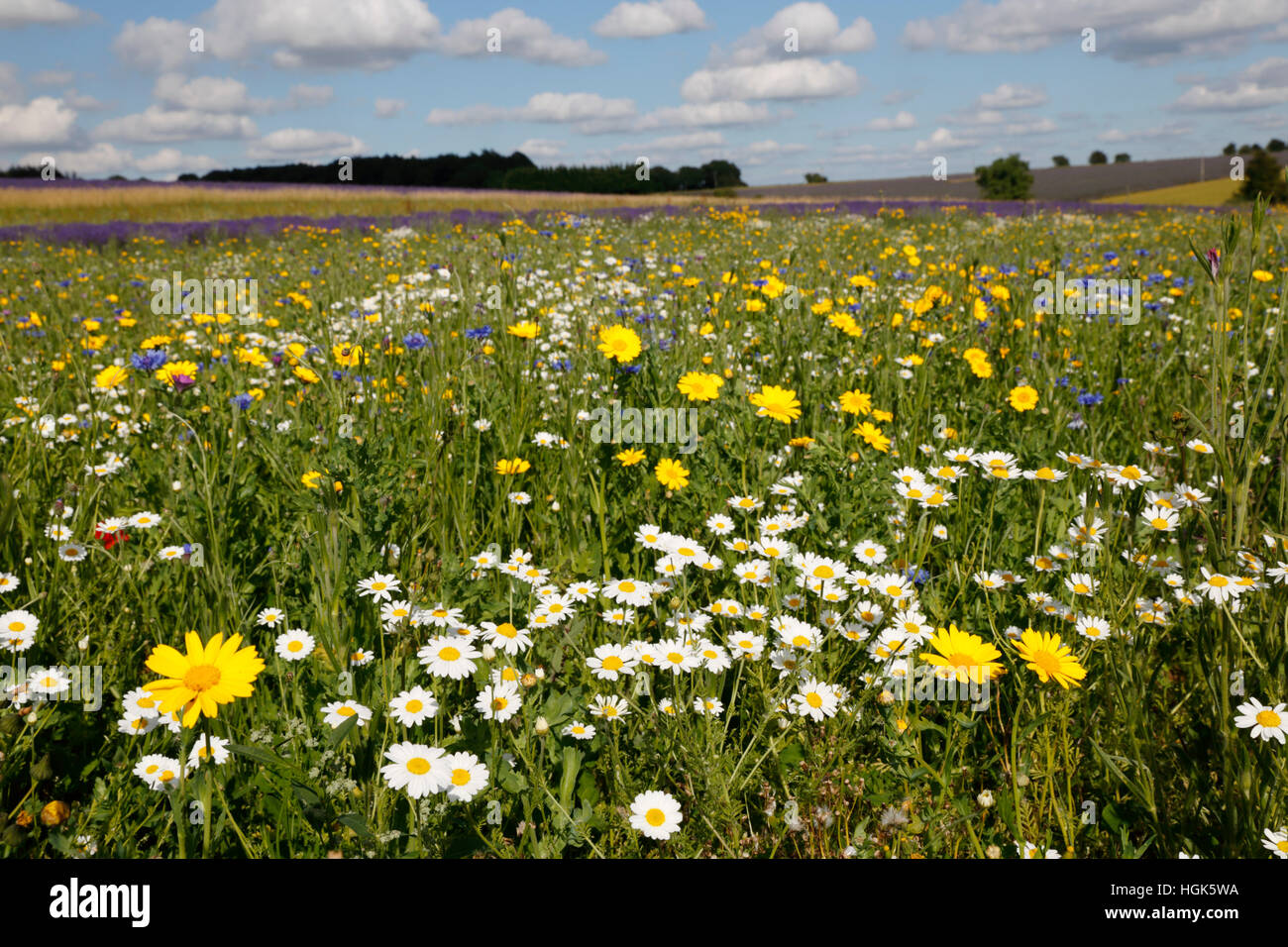 Oxeye Daisies and other wild flowers growing on grassland, Snowshilll, Cotswolds, Gloucestershire, England, United Stock Photo