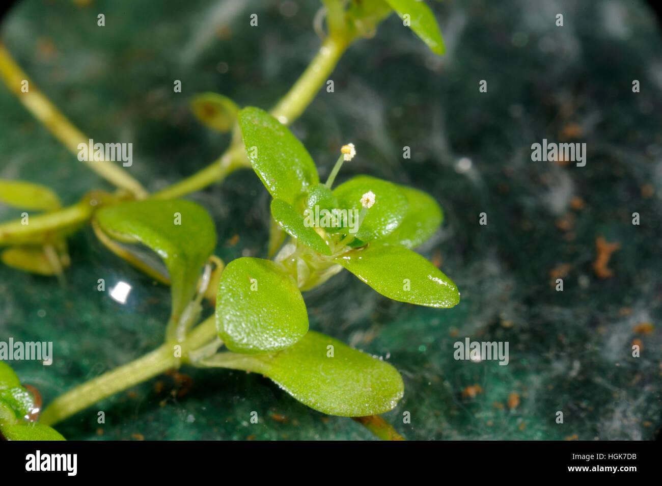 Common Water-starwort, Callitriche stagnalis - Stock Image
