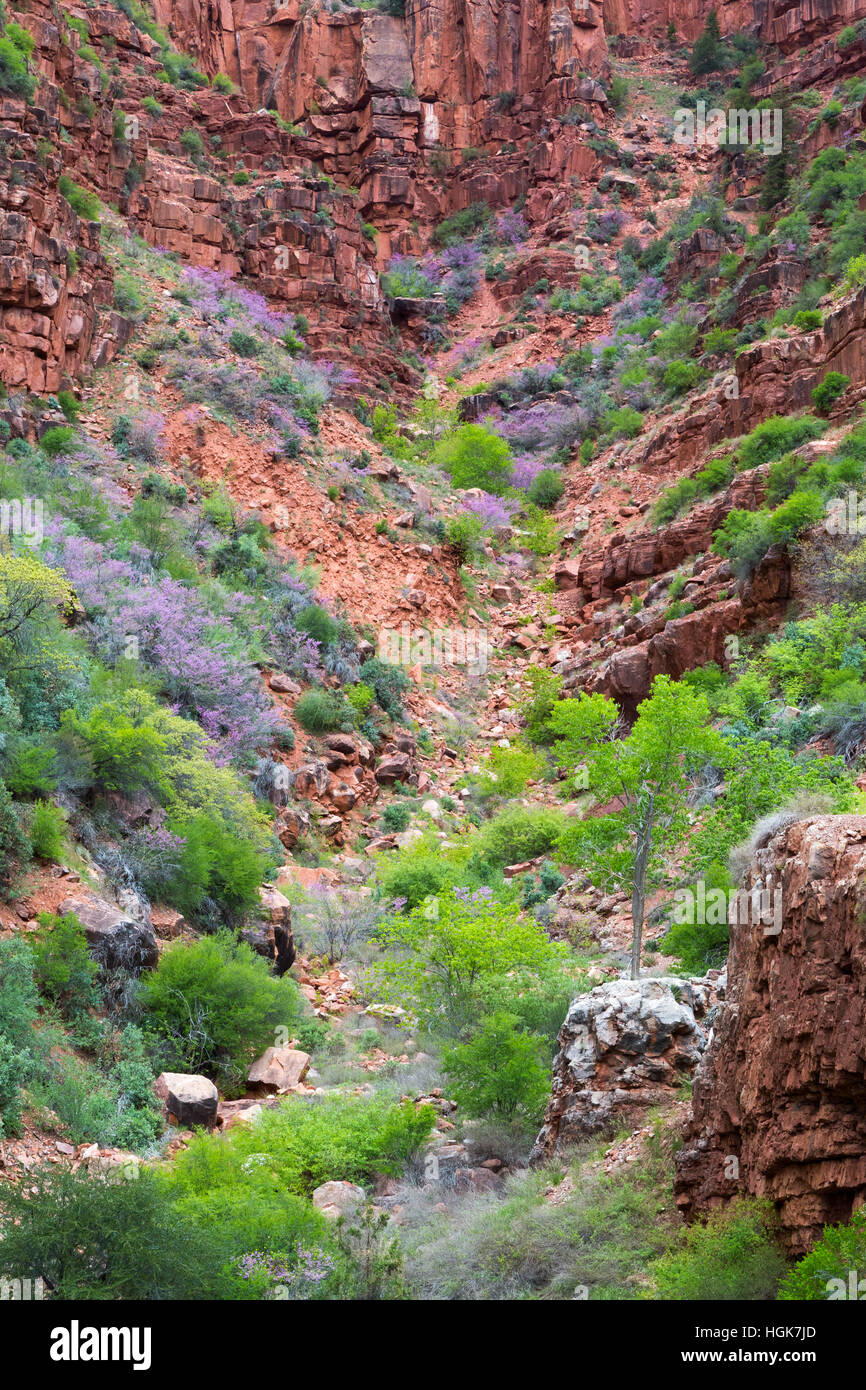 Blooming western redbud plants growing with cottonwood trees along the North Kaibab Trail. Grand Canyon National - Stock Image