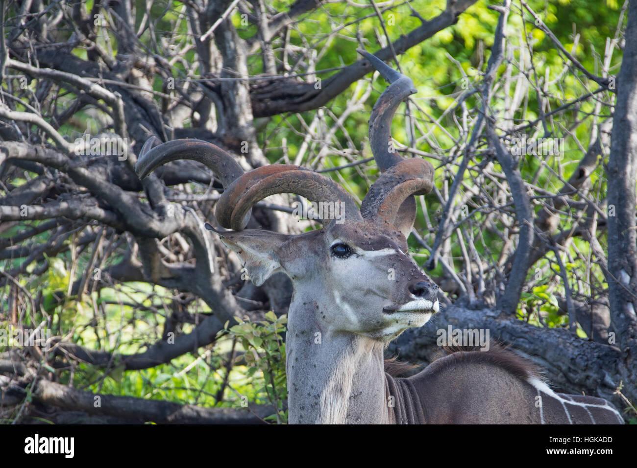 Greater Kudu, (Tragelaphus strepsiceros) Chobe National Park, Botswana, AfricaChobe National Park, Botswana, Africa - Stock Image