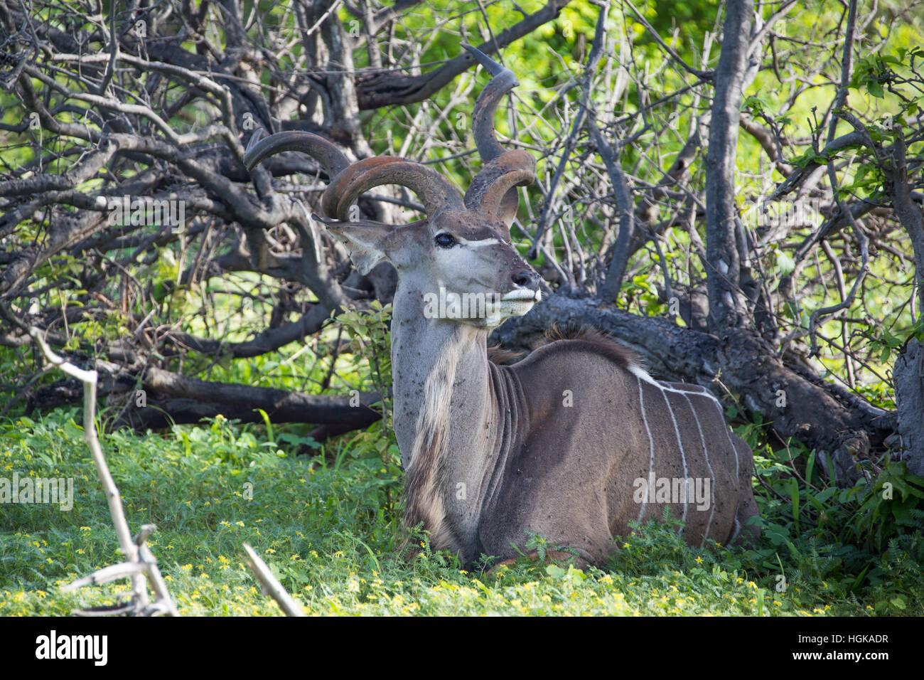 Greater Kudu, (Tragelaphus strepsiceros) Chobe National Park, Botswana, Africa - Stock Image