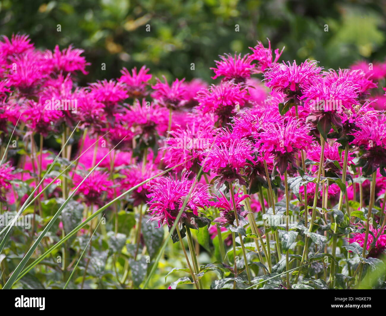 Monarda (bee balm, horsemint, oswego tea, bergamot) in full bloom Stock Photo