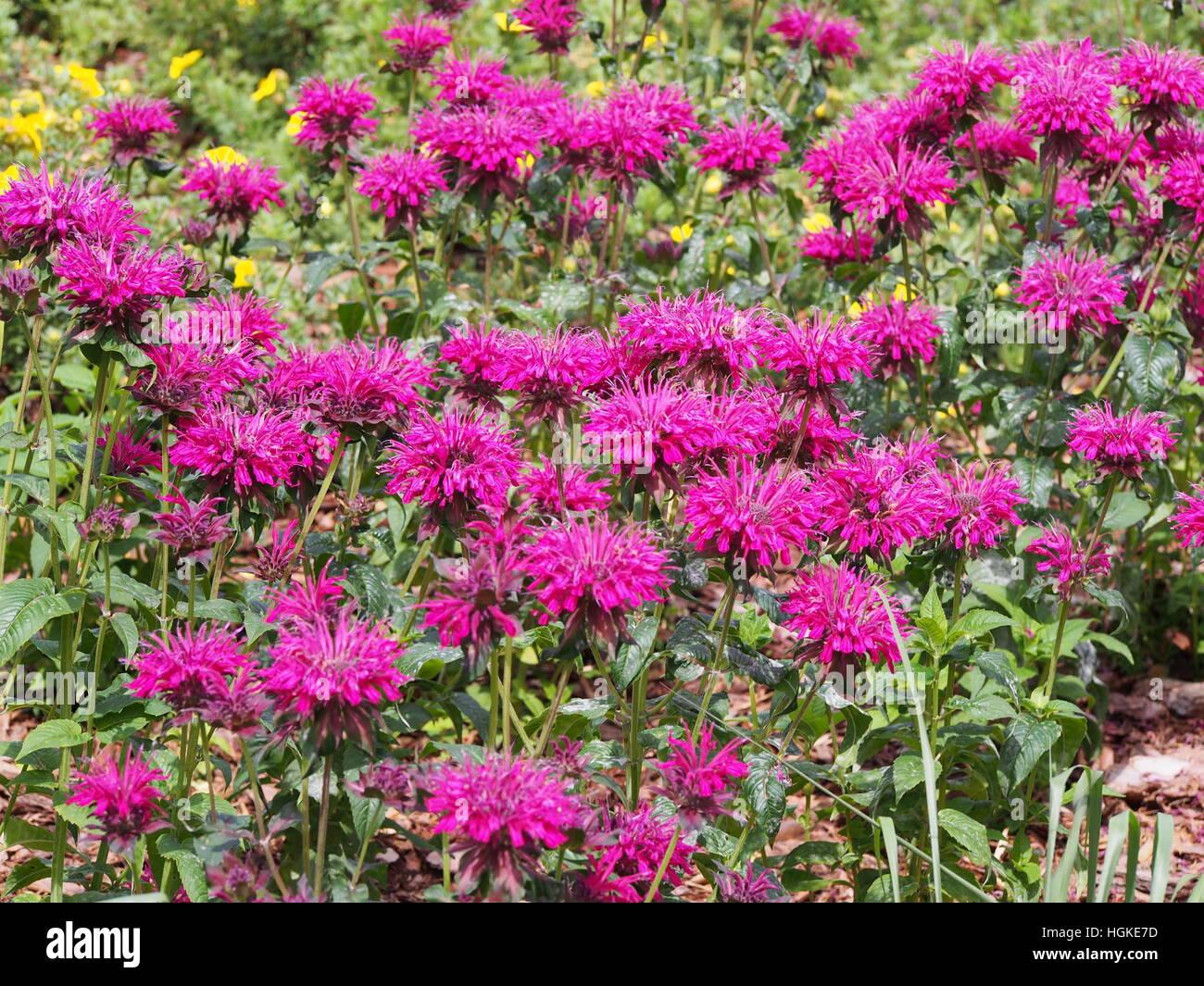 Monarda (bee balm, horsemint, oswego tea, bergamot) in full bloom - Stock Image