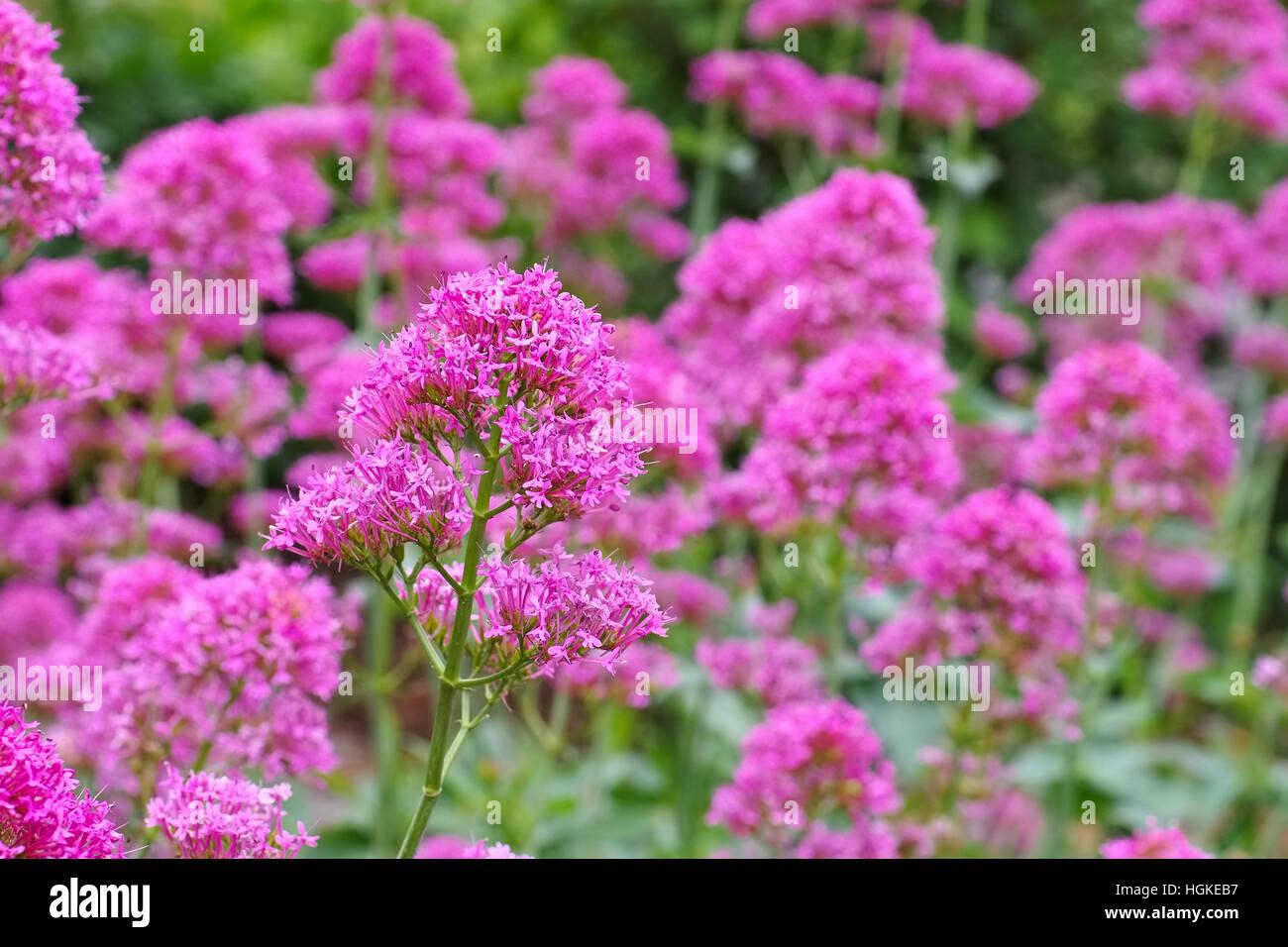 Afrikanischer Baldrian, Fedia cornucopiae - Fedia cornucopiae, a Valerianoideae plant - Stock Image