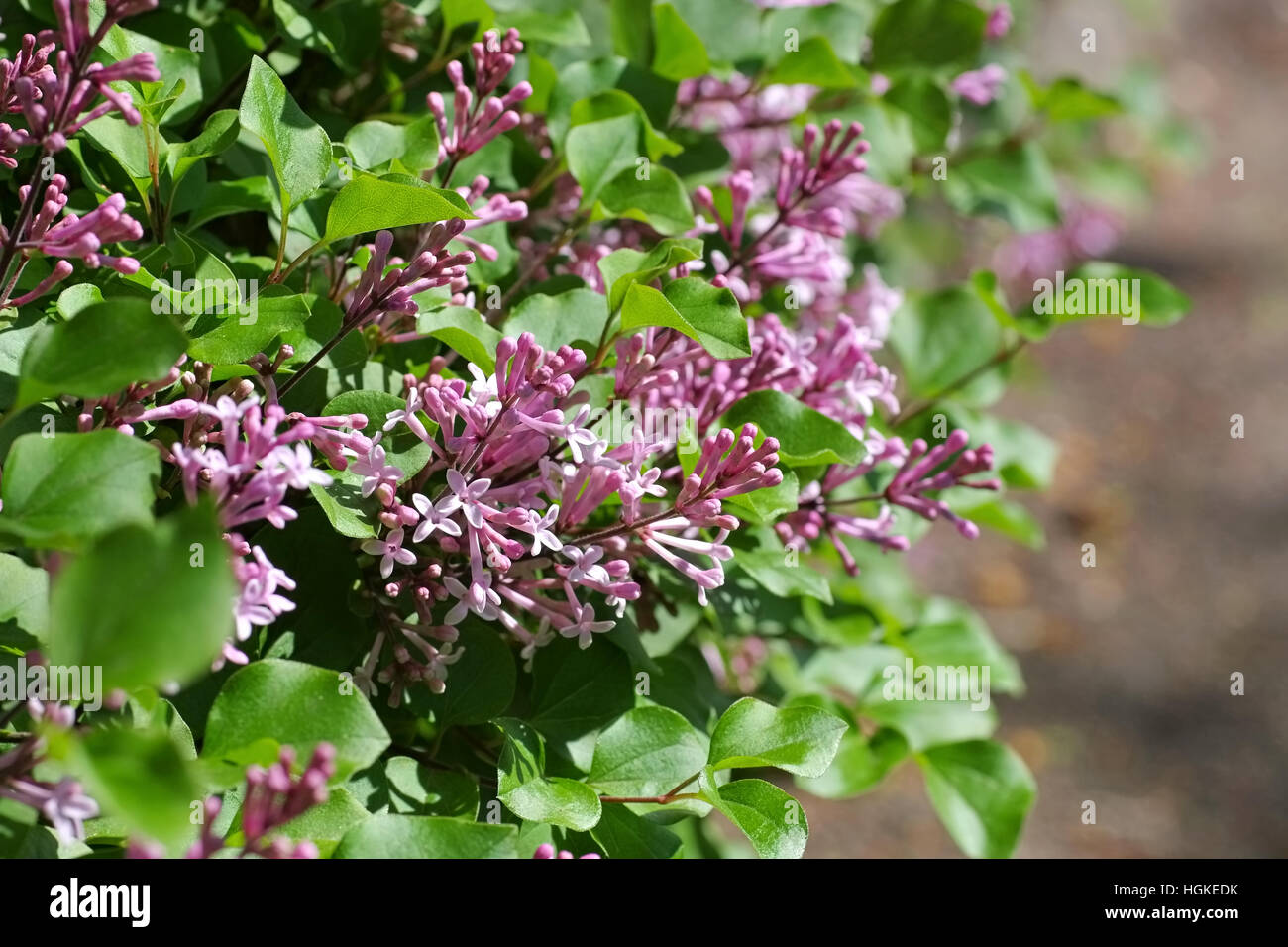 Flieder - small purple lilac flower in garden - Stock Image