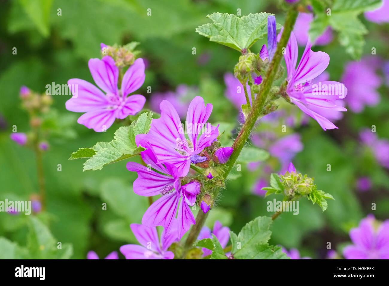 wilde Malve - purple malva sylvestris, a medicinal plant Stock Photo