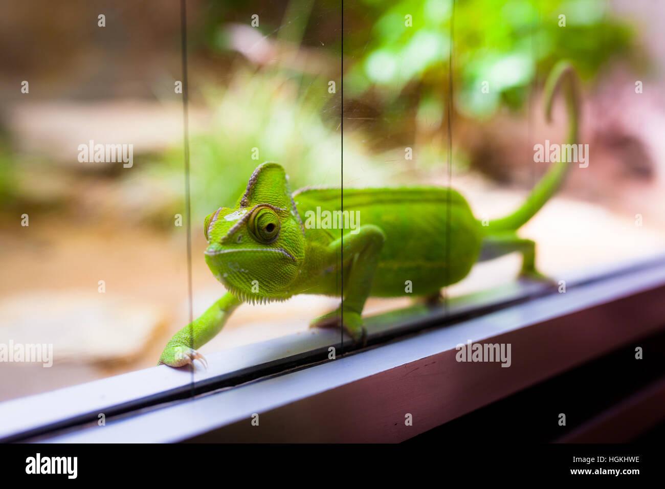 Chameleon In Glass Terrarium Stock Photo 130738202 Alamy