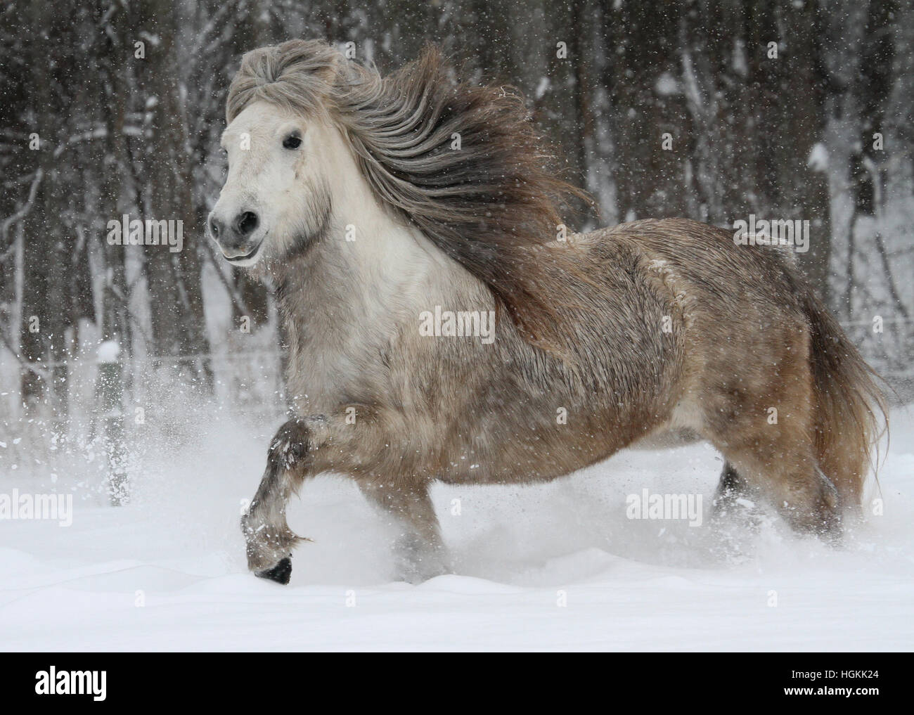 A dapple grey Icelandic horse mare charges through the snow - Stock Image