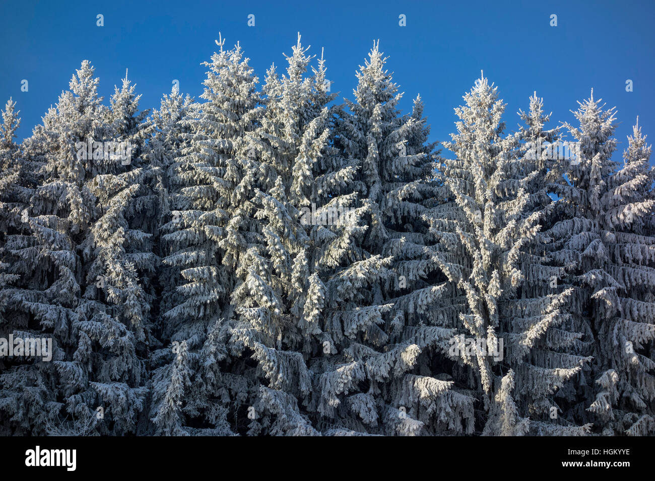 Wintry Spruces Stock Photo
