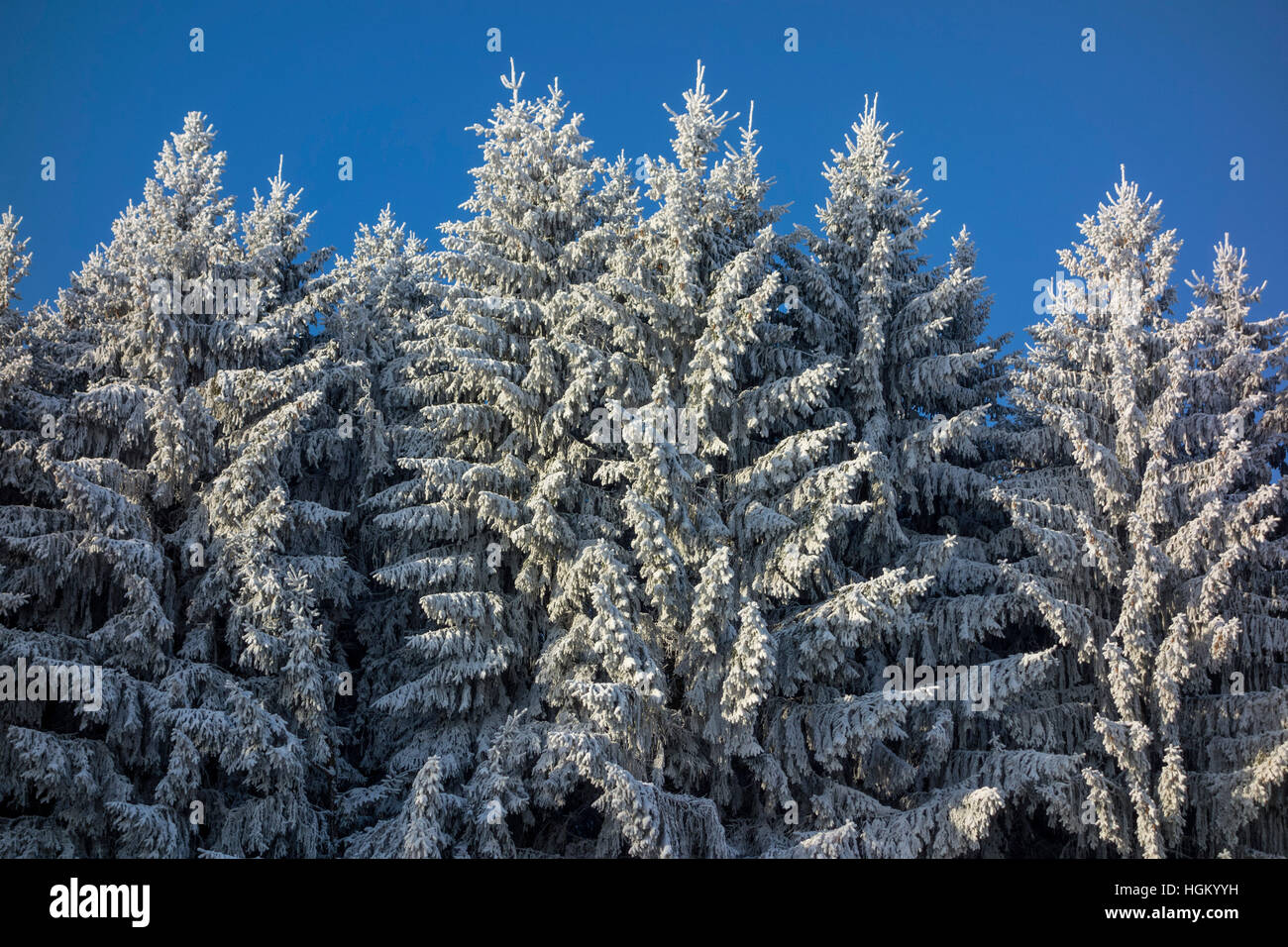 Wintry Spruces - Stock Image
