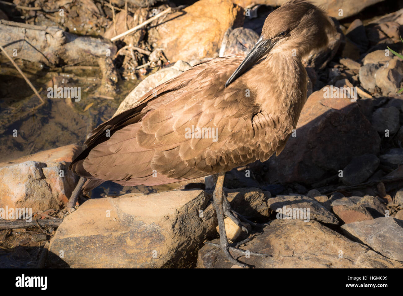 The South African Hamerkop On Rocks Stock Photo