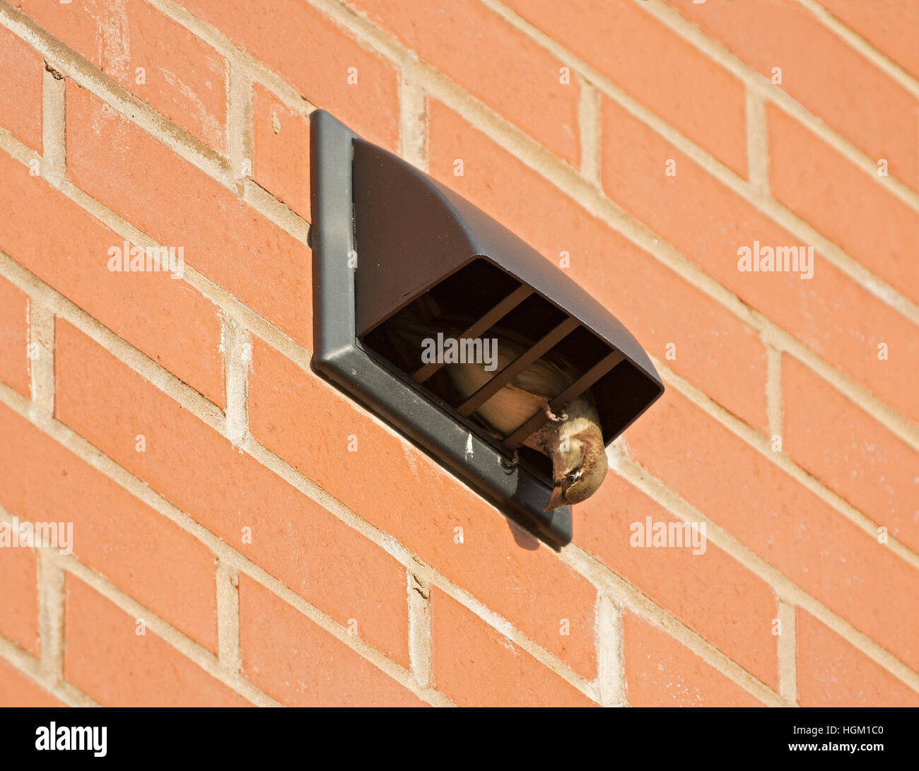House Sparrow, passer domesticus, nesting in air vent. Lancashire, England, UK - Stock Image