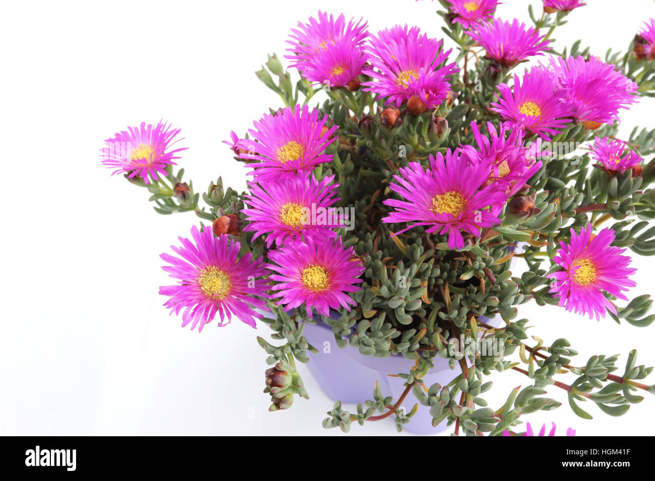 Close up of Mesembryanthemum Blueberry Rumble or known as Lampranthus Blueberry against white background Stock Photo