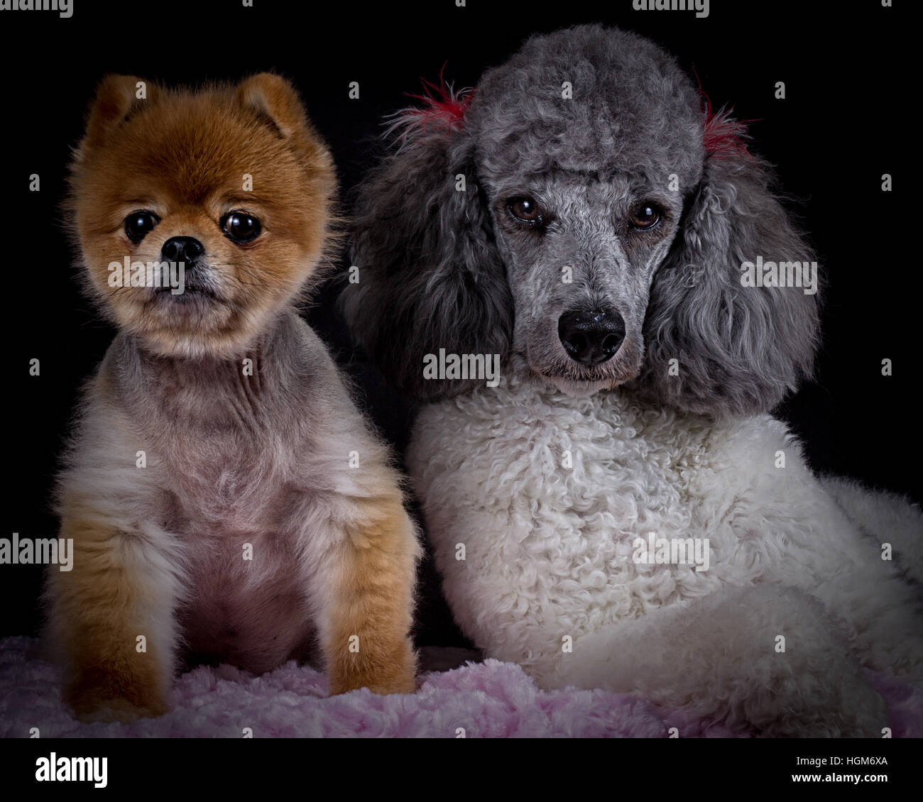 Pomeranian And Poodle Puppies Stock Photo Alamy