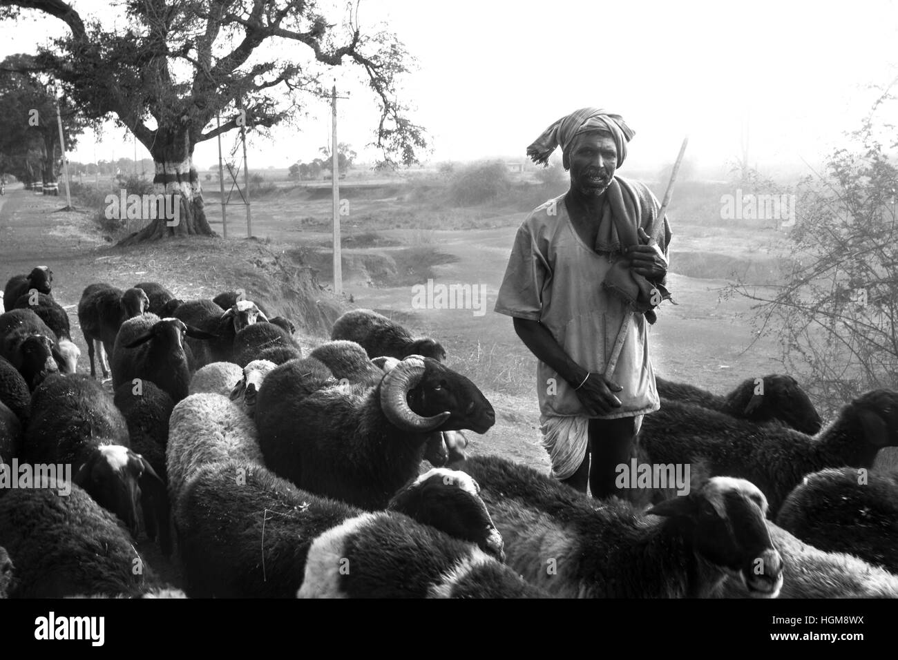 Shepherd With His Sheep Nomadic From Gadag Karnataka Trekking Long Distances In Search