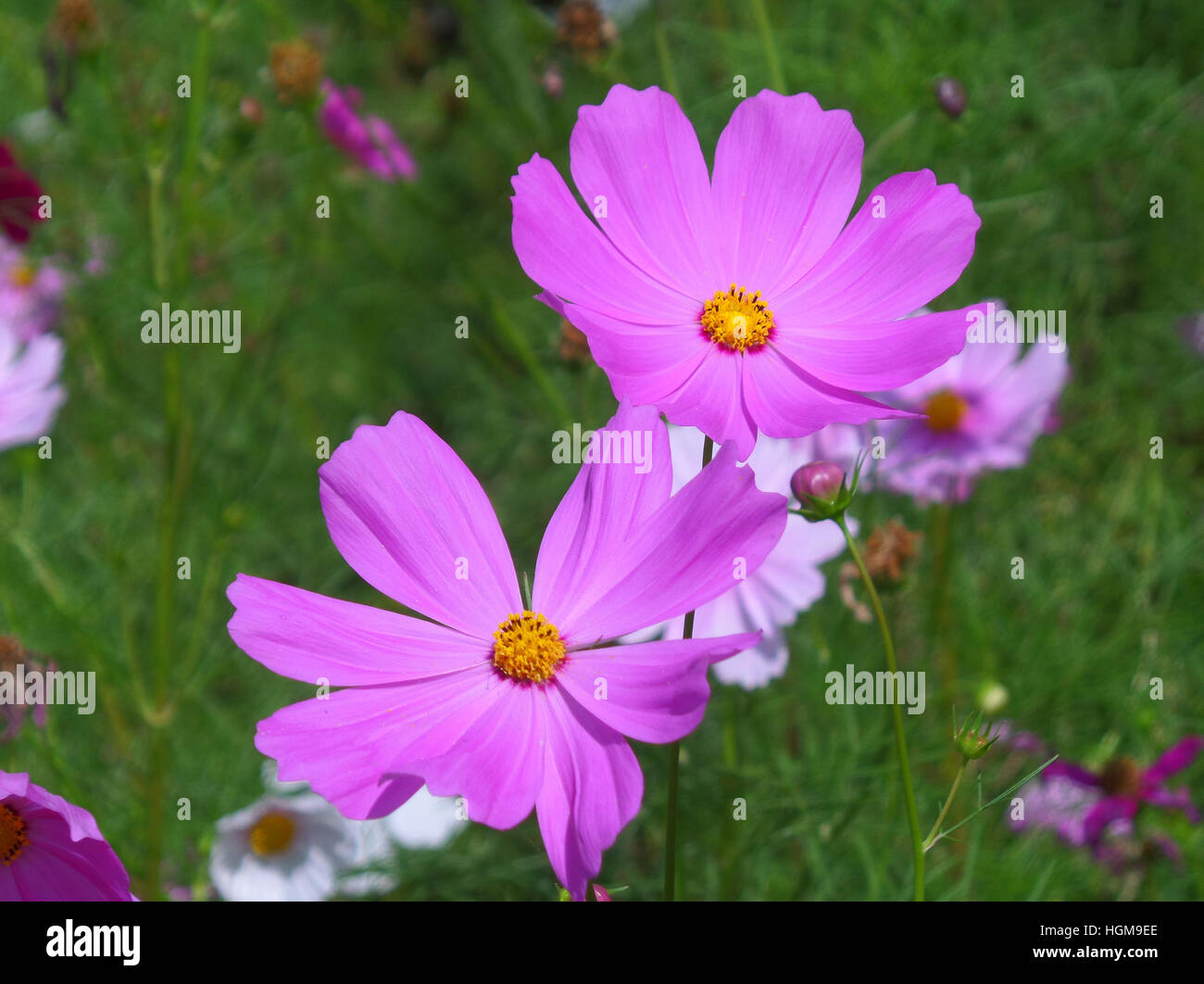 Two Blooming Vivid Pink Color Cosmos Flowers In The Green Field