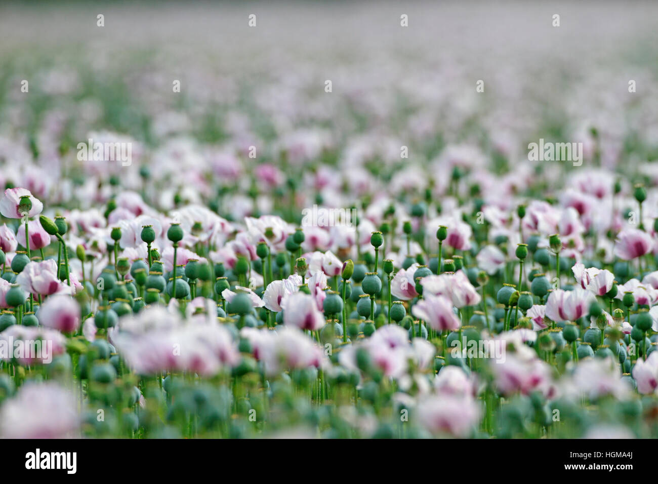 Poppies growing on English farmland for medicines. - Stock Image