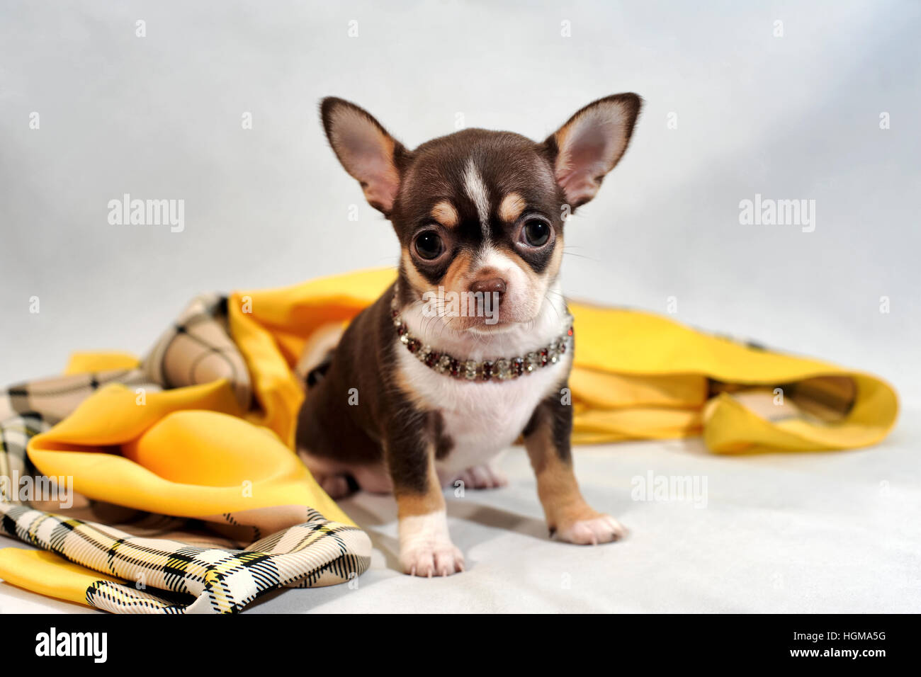 Cute brown short-hair Chihuahua puppy and shawl on white background. - Stock Image