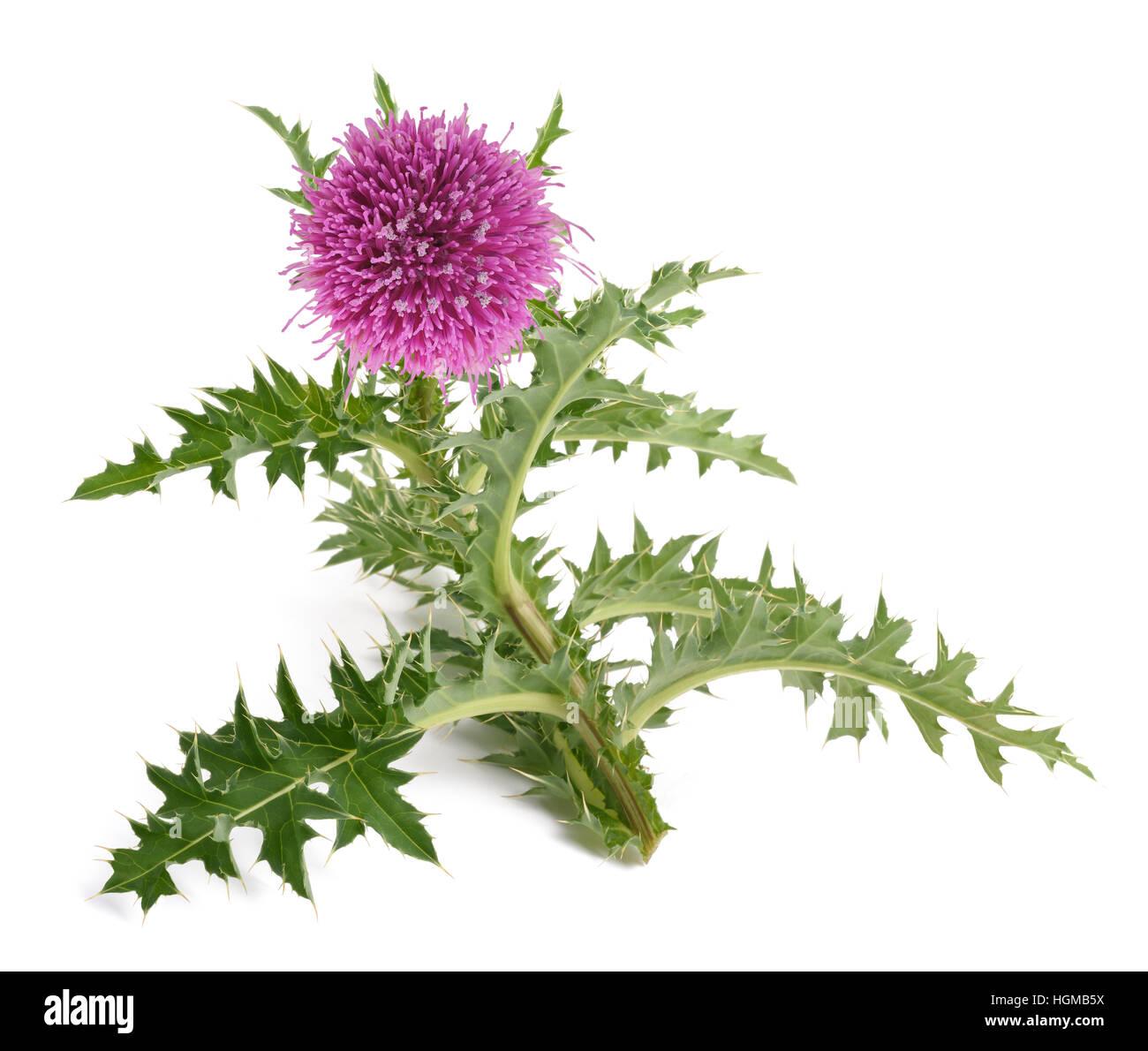 thistle flower isolated on white background - Stock Image